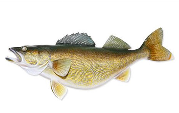 The gallery for walleye art for Wall eye fish